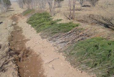 توزیع روزانه ۷۰۰ اصله نهال از گونههای جنگلی درسطح شهرستان