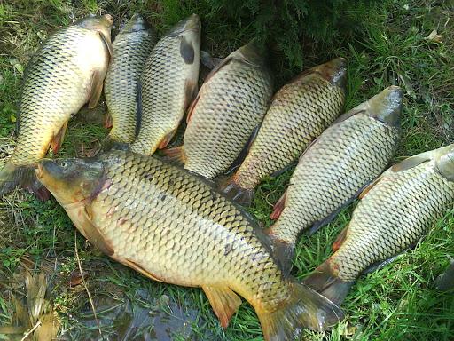 ماهی سردابی و گرمابی در شهرستان چناران