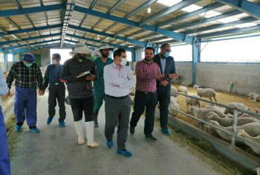 واردات دوهزار راس گوسفند نژاد لاکن از کشور فرانسه در چناران