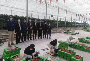بازدید فرماندار شهرستان چناران در معیت مدیر جهاد کشاورزی از بزرگترین گلخانه کشت توت فرنگی در شرق کشور