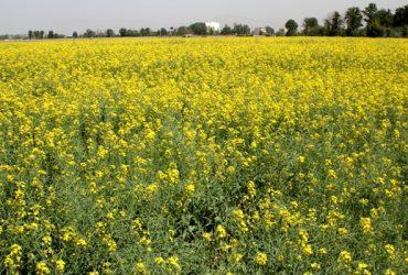 توصیههای مدیر جهاد کشاورزی چناران به کشاورزان در خصوص کشت کلزا