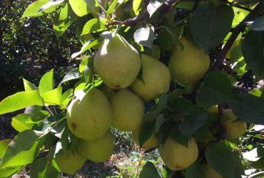 پیش بینی تولید 101 هزارتن سیب و گلابی در چناران